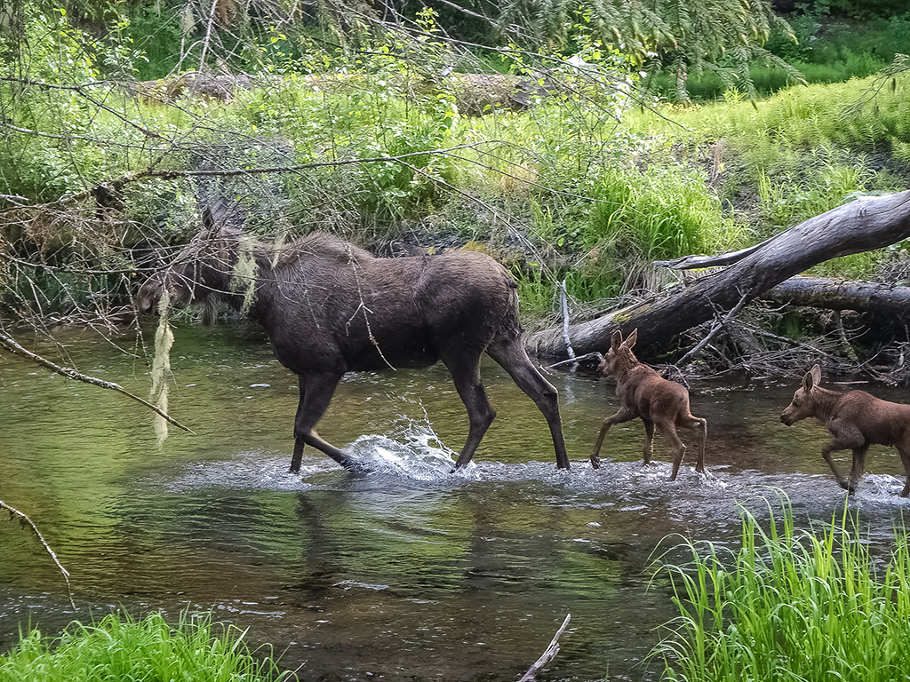 Moose in Clear Creek in Seward, Alaska near Exit Glacier and Kenai Fjords National Park on Kenai Peninsula